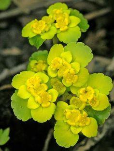 Kevätlinnunsilmä, Chrysosplenium alternifolium - Kukkakasvit - LuontoPortti