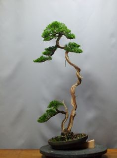 真柏の整枝 : 雨宮園 ☆~盆栽・山野草・陶芸~☆趣味が仕事でも・・・。