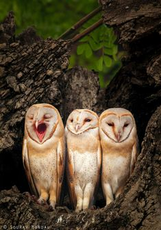There is always one that ruins a family picture :) Barn Owl trio shot at West Bengal, India Jan-2016