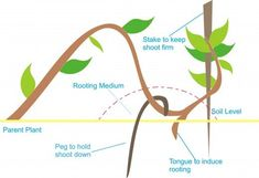 Method of layering How To Grow Bonsai, Miniature Trees, Greenhouse Gardening, Grow Your Own, Art Of Living, Greenery, Plant Leaves, Layering, Vegetable Garden