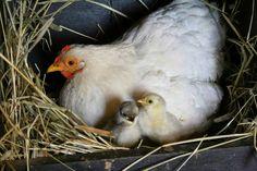 Domaće kokoši bile su bitan dio svakog seoskog gospodarstva!  Opširnije:  http://narodni.net/razvoj-stocarstva-peradarstva-na-seoskim-imanjima/  #kokos #koka #selo #imanje #povijest #običaji #narodniNET #tradicija