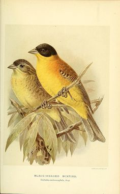 Coloured figures of the birds of the British Islands / issued by Lord Lilford.. London :R. H. Porter,1885-1897.