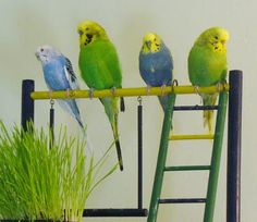 I love birds, but budgies are my favourite