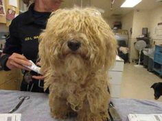 My name is 125613.  I am a male, white Poodle - Miniature.  The shelter staff think I am about 2 years old.  I have been at the shelter since Jul 14, 2014.  This information was refreshed 10 hours ago and may not represent all of the animals at the Riverside County Animal Control - Riverside Shelter.