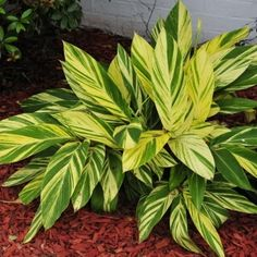 Alpinia zerumbet variegated 'Variegated Shell Ginger I have one of these again this year, they make stunning potted plants on the deck. Love their variegated leaves. They have the potential of getting quite large in a season depending on size of pot. Tropical Plants, Foliage Plants, Trees To Plant, Ginger Plant, Backyard Plants, Plants, Planting Flowers, Shade Garden Plants, Tropical Landscaping