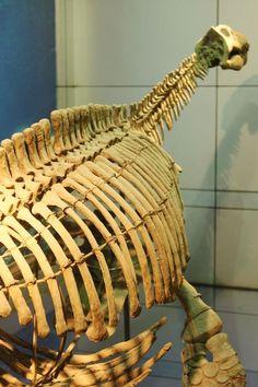 Bishanopliosaurus youngii - Bishanopliosaurus - (china) Wikipedia, the free encyclopedia  //  plesiosaur fossil