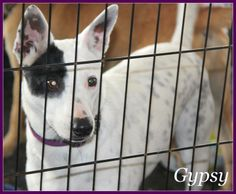 07/19/14 sl ~~Gypsy  ~Border Collie & Australian Cattle Dog (Blue Heeler) Mix • Adult • Female • Medium  Animal Aid for Vermilion Area Abbeville, LA