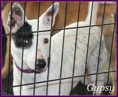 07/19/14 sl ~~Gypsy  ~Border Collie & Australian Cattle Dog (Blue Heeler) Mix • Adult • Female • Medium  Animal Aid for Vermilion Area Abbeville, LA