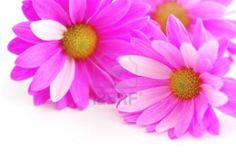 Closeup of pink flower blossoms on white background