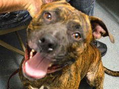 TO BE DESTROYED - 11/20/14 Brooklyn Center -P My name is JAX aka JACKS. My Animal ID # is A1019943. I am a male br brindle and black pit bull mix. The shelter thinks I am about 1 YEAR I came in the shelter as a OWNER SUR on 11/07/2014 from NY 11208, owner surrender reason stated was PERS PROB. https://www.facebook.com/Urgentdeathrowdogs/photos/a.611290788883804.1073741851.152876678058553/901465749866305/?type=3&theater