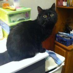 stelli74 Fury adoptée à une particuliere ! Adoptez une #PerleNoire les animaux noirs attendent en moyenne 2 fois plus longtemps d'être adoptés et pourtant ils sont aussi beaux que les autres !! @Seconde Chance @Wanimo.com #fury #chat #chats #chatsagram #cat #cats #catsagram #chatdamour #chaton