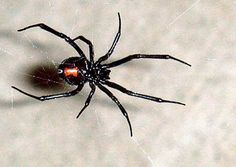 BioOrbis: Aranhas perigosas do Brasil e sua importância médi...