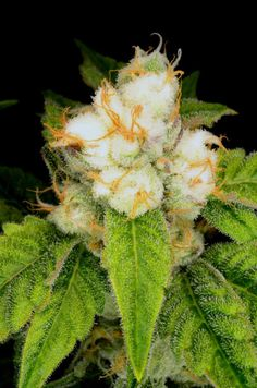White orange # http://www.spliffseeds.nl/autoflowering-seeds/ak-automatic-female-seeds.html