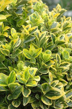 evergreen. dark green in winter. full to shade. Gold Variegated Japanese Euonymus (Euonymus japonicus 'Aureomarginata') at Squak Mountain Nursery