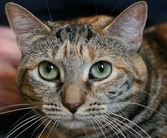 Pippi-an-adoptable-cat-in-Chicago