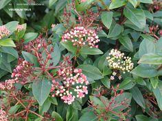 Viburnum tinus bloem = Wintergroene heester, 2-3 m.  hoog kan deze worden, bloeit wit: heeft in  november al bloemknoppen – in de winter duidelijk wit/roze zichtbaar en gaan open in het voorjaar - tot mei, licht geurend.
