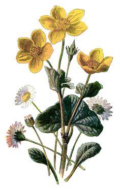 marigold clip art, vintage flower illustration, yellow flower, floral botanical drawing, Frederick Edward Hulme