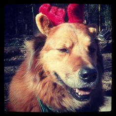 Reindeer Harry