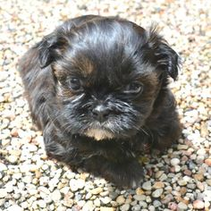 93 Best Shih Tzu Puppies Images Baby Shih Tzu Shih Tzu Puppy