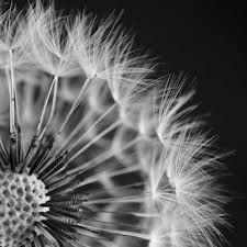 black and white dandelion photos - Google Search