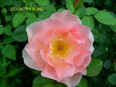 Country Song rose (Buck)~ Trying to determine cold hardiness and ARS rating...