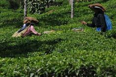 India to promote tea aggressively. This pic: Plantation workers pluck tea leaves at a plantation in Wayanad, Kerala.