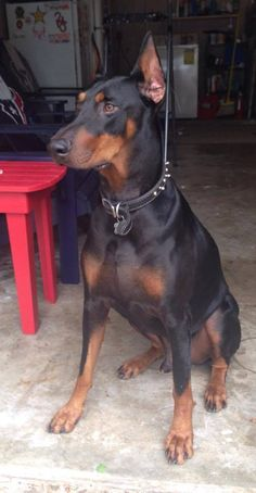 The Doberman Pinscher is among the most popular breed of dogs in the world. Known for its intelligence and loyalty, the Pinscher is both a police- favorite Best Dog Breeds, Best Dogs, Pit Bulls, Black And Tan Terrier, Doberman Pinscher Dog, Doberman Puppies, Doberman Love, Pet Camera, Dog Hacks