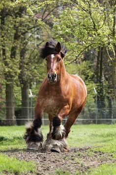 Belgian Draft Horse   Globerove