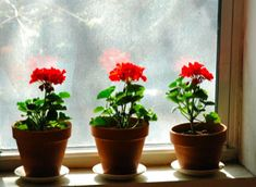 geraniums in the window. reminds me of my mom :)
