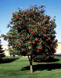 Mountain ash tree - Google Search