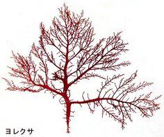 ヨレクサGelidium vagum  Okamura