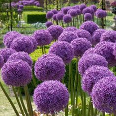 Globemaster Allium is an easy to grow Ornamental Onion that has giant diameter violet flower heads on 2 to 3 ft. flower stems and blooms in early summer. Allium Flowers, Bulb Flowers, Lavender Flowers, Purple Flowers, Allium Globemaster, Deer Resistant Annuals, High Country Gardens, Replant, Landscaping With Rocks