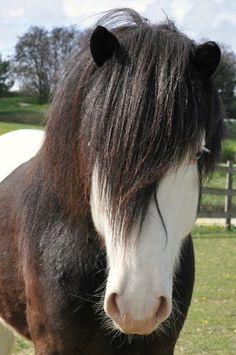 Icelandic Horse stallion Seðill frá Vatnsleysu