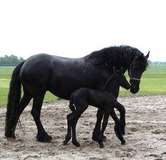 Fries paard met pas geboren veulen. Estelle vd Strubbenhof with her filly Trudy fan de Iepene Hikke www.lenysfriesepaarden.com