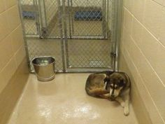 Helping Animals at Gwinnett County Animal Control in Lawrenceville GA ***OWNER SURRENDER...OWNER DIED...HE WENT TO A FAMILY MEMBER WHO PUT HIM IN A BACK YARD AND LEFT HIM...HIS EARS HAVE ALL BEEN CHEWED OFF FROM FLIES/MITES...HE IS VERY SCARED.  Animal ID # is 41598 I am a MALE, PEN 155 SIBERIAN HUSKY The shelter thinks I am AN ADULT I will be available for adoption starting on 08/28/2014 OWNER GIVE-UP ; LARGE ; SEMI-FRIENDLY AND SCARED Call the Shelter for more information 770-339-3200. —…
