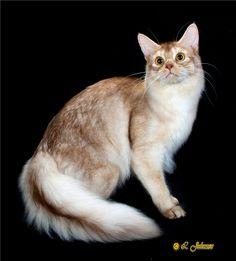 Somali cat breeder | ... - Majorus Cattery | Abyssinian and Somali Cat breeder in USA - NY