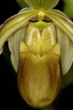 Phagmipedium longifolium - Flickr - Photo Sharing!