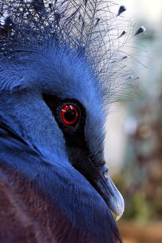 Victoria Crowned Pigeon. Photo by souzay