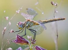Dragonflies and Damselflies are Fairy Bugs. Isn't it fitting ... Dragons and Damsels?