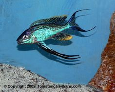 "Cyathopharynx Furcifer - ~8"" tanganyikan featherfin cichlid, requires very large tank (over 75g)"