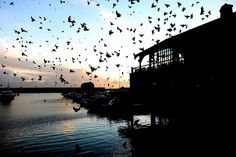 Starlings over Brighton Marina, England. In 1949 so many roosted on the hands of Big Ben that they stopped the clock. (telegraph.co.uk)