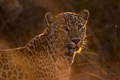 Find images of Leopard. ✓ Free for commercial use ✓ No attribution required ✓ High quality images. Tier Wallpaper, Animal Wallpaper, Funny Animal Memes, Funny Animals, Cute Animals, Wildlife Photography, Animal Photography, Focus Photography, Photography Hacks