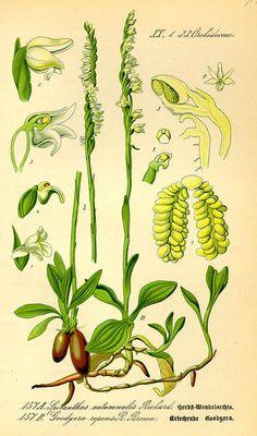 Flora von Deutschland Österreich und der Schweiz (1885). Spiranthes spiralis