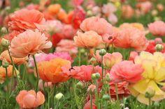 Blomstrer i juni-juli