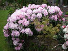 Rhododendron makinoi at Johny Andreassen, Foto: H. Eiberg