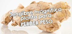 Jengibre magnifica planta para perder peso  http://nutricionysaludyg.com/dietas-saludables/jengibre-magnifica-planta-para-perder-peso/
