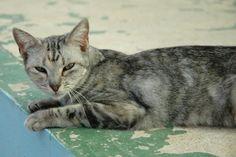 RANIA - Gato en adopción - AsoKa el Grande