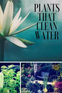 Plants That Clean Water Plants in aquatic systems can improve water quality and absorb bacteria, metals, and chemicals. You can make a pond garden in your yard that filters water. Water lilies and iris's are two great pond plants that also filter water. Water Garden Plants, Pond Plants, Aquatic Plants, Garden Ponds, Water Plants For Ponds, Bog Garden, Koi Ponds, Garden Bar, Water Pond