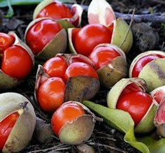 Diploglottis australis, known as the Native Tamarind, is a common rainforest tree of eastern Australia.