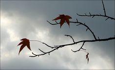 Zwei Ahornblätter an einem Zweig - Jahreszeiten - Galerie - Community
